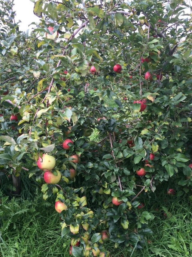 Apple Holler 2